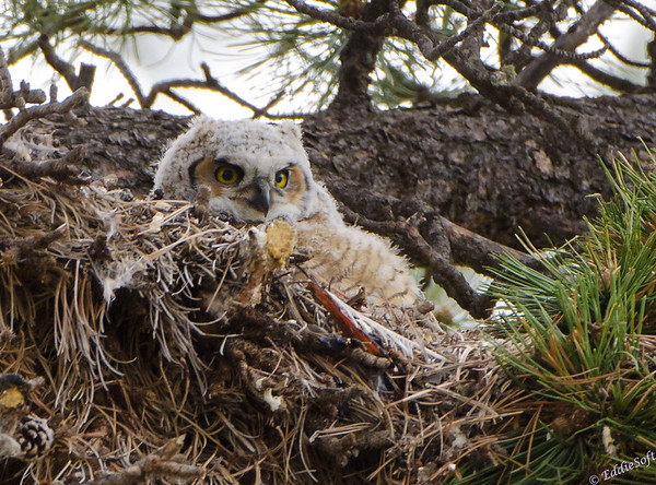 Great Horned Owl Shot In Rocky Mountain National Park in May 2014