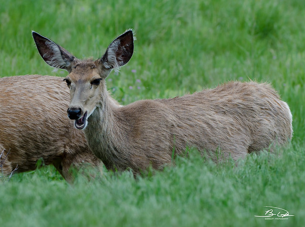 Mule Deer found at Rocky Mountain National Park in May 2014