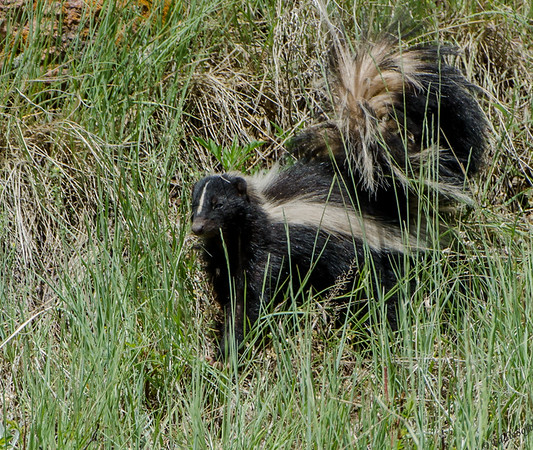 Skunk found at Red Rocks Ampitheatre outside Denver CO, May 2014