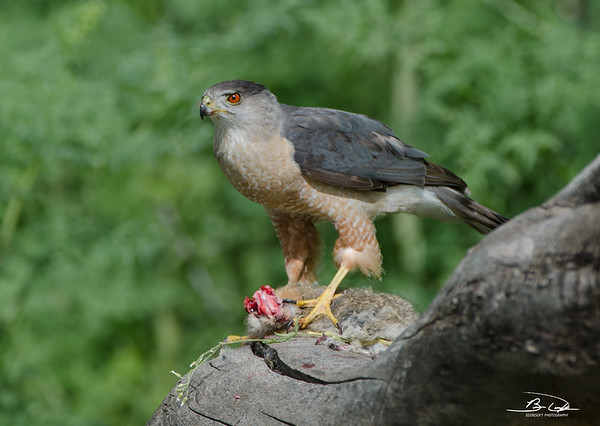 Cooper's Hawk Dining on a Rabbit in Red Rocks Ampitheatre - Colorado May 2014
