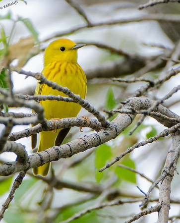 Yellow Warbler shot on Colorado Trip - May 2014