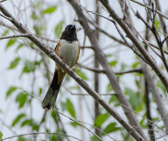 Spotted Towhee found at Rocky Mountain National Park, Colorado in May 2014
