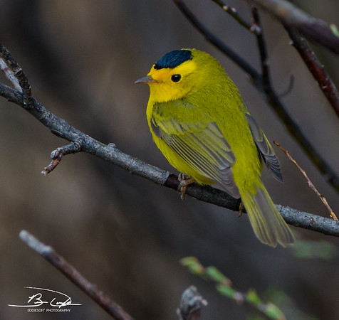 Wilson's Warbler found at Rocky Mountain National Park May 2014