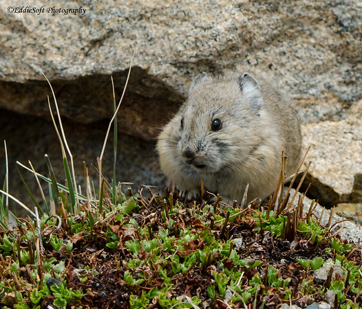 Pika found at Rocky Mountain National Park, Colorado in May 2014
