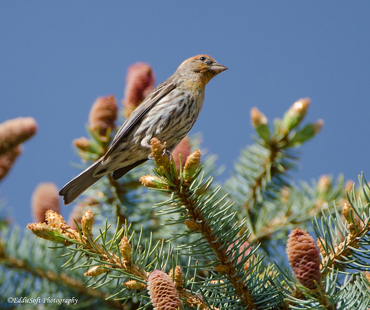 House Finch shot at Colorado ?? In May 2014
