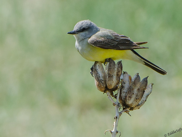 Western Kingbird shot at Rocky Mountain National Park, May 2014