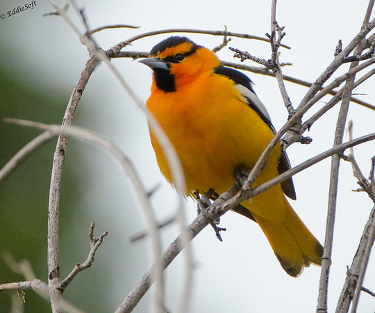 Bullock's Oriole Shot at Red Rocks Ampitheatre near Denver Colorado in May 2014