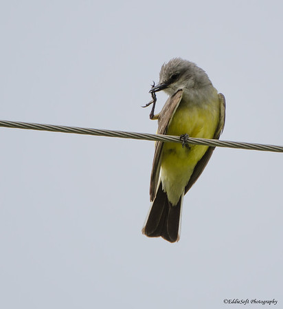 Western Kingbird shot at Jefferson County Fairgrounds in Golden Colorado May 2014