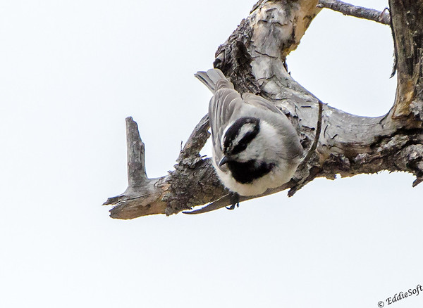 Mountain Chickadee found at Rocky Mountain National Park May 2014