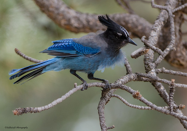 Steller's Jay shot in Rocky Mountain National Park, Colorado in May 2014