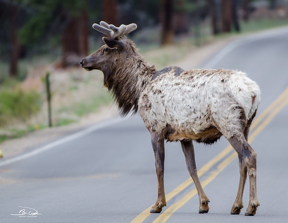 Elk spotted at Rocky Mountain National Park, Colorado in May 2014