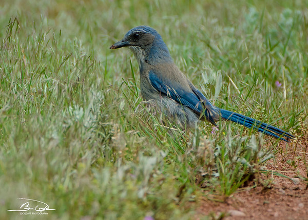 Woodhouse's Scrub-Jay shot in Red Rocks Ampitheatre in May 2014