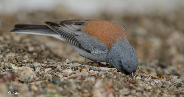 Gray Headed Junco captured at Rocky Mountain National Park in May of 2014