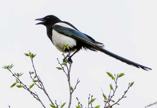 Black-Billed Magpie shot in Colorado, May 2014