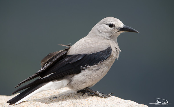 Clark's Nutcracker spotted in Rocky Mountain National Park in May of 2014