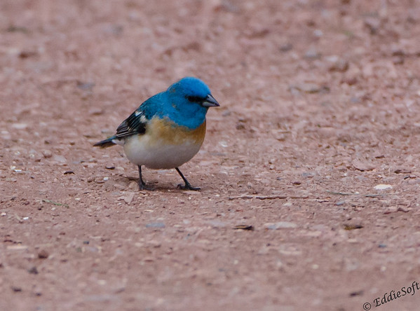 Lazuli Bunting shot at Red Rocks Amphitheatre, Morrison, Colorado May 2014