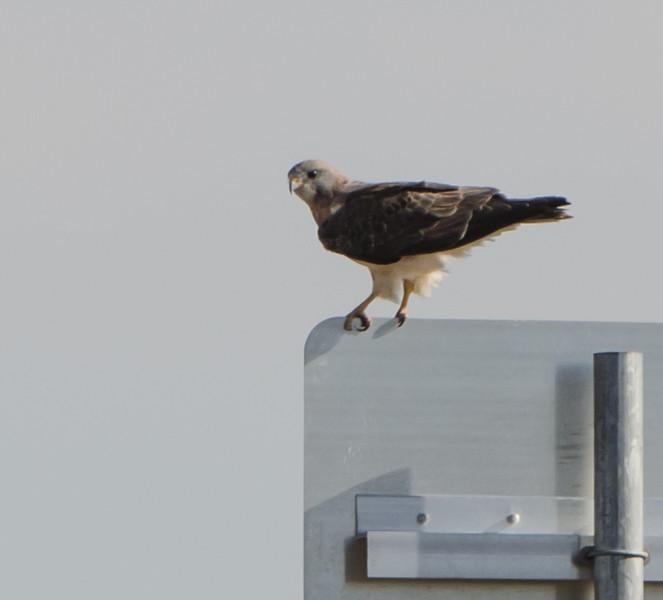 Swainson's Hawk shot on Colorado trip September 2015