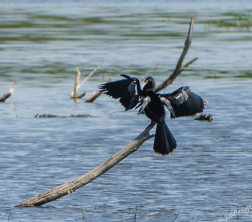 Anhinga shot at Harris Neck National Wildlife Refuge near Savannah, Georgia May 2015