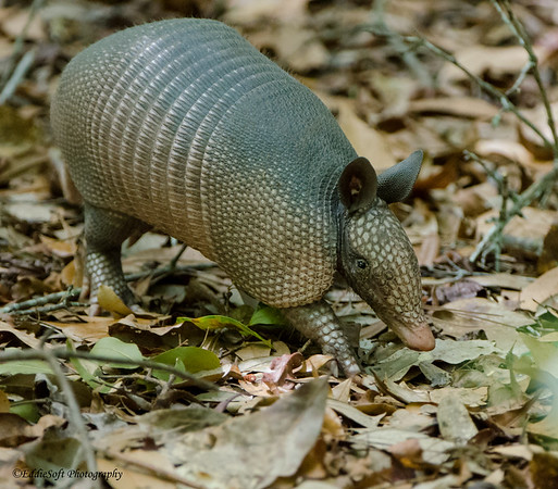 Armadillo found on Georgia Birding Trip May 2015