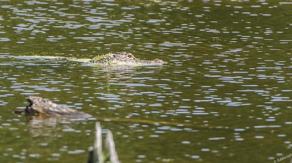 Alligators shot at Harris Neck National Wildlife Refugee, near Savannah Georgia May 2015