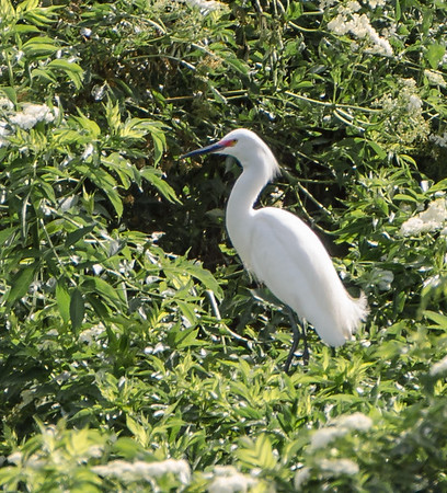 Snowy Egrets found at Harris Neck National Wildlife Refuge, Savannah Georgia May 2015
