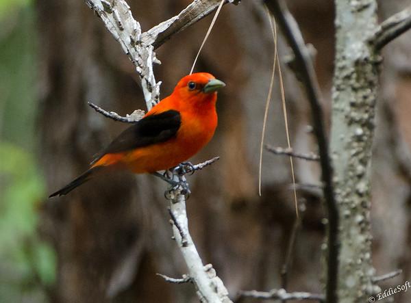 Scarlet Tanager found on Georgia Birding Trip May 2015