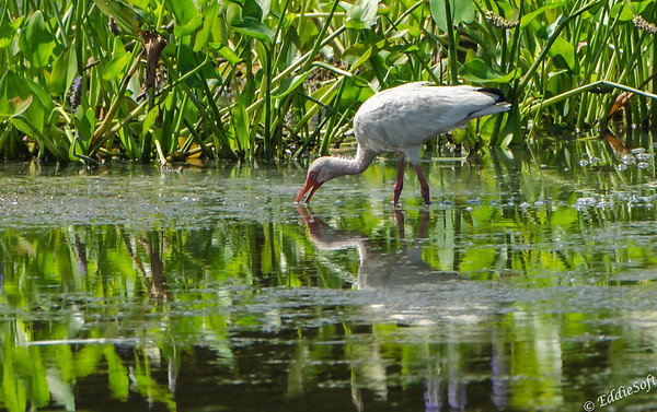 White Ibis found at Harris Neck NWR outside Savannah Georgia May 2015