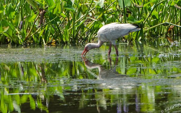White Ibis found at Harris Neck NWR outside Savannah Georgia May 2015