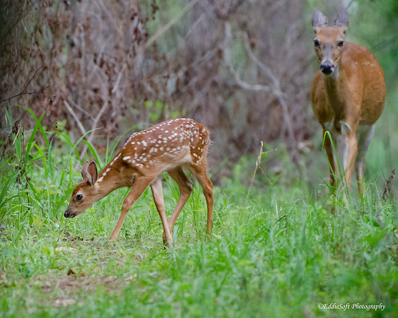 Doe and Fawn discovered at ?? while on our Georgia birding trip in May 2015