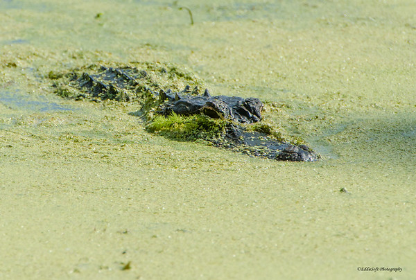 Alligators shot at Harris Neck National Wildlife Refugee, near Savannah Georgia May 2015