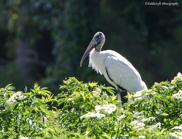 Wood Stork shot at Harris Neck National Wildlife Refuge near Savannah Georgia, May 2015