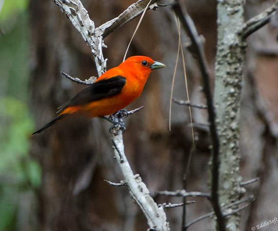 Scarlet Tanager found on Georgia Birding Trip May 2015
