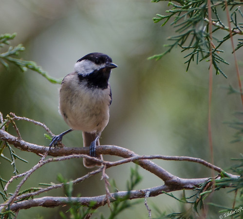 Carolina Chickadee found in Georgia May 2015