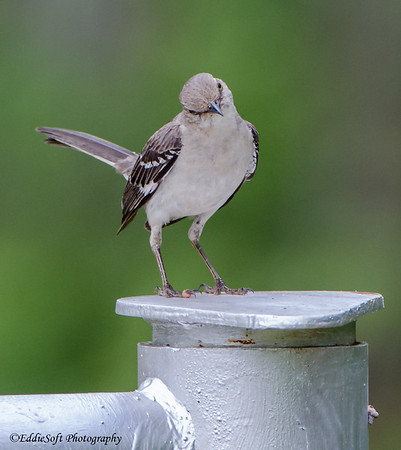 Northern Mockingbird found on Georgia Birding Trip May 2015