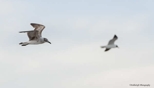 Laughing Gull found at Tybee Island, Georgia May 2015