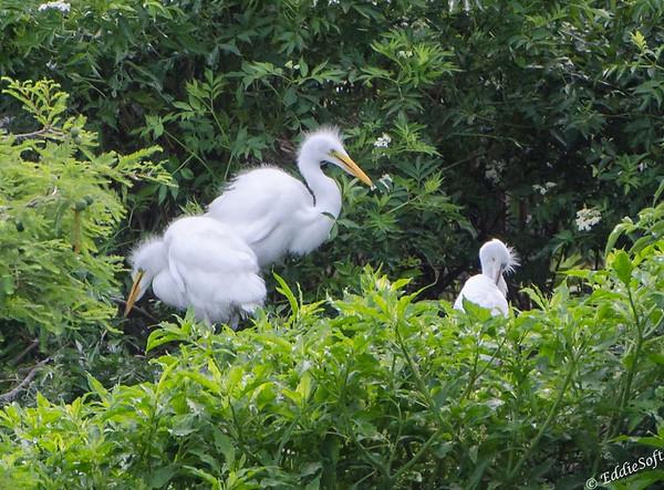 Great Egrets found at Harris Neck National Wildlife Refuge, Savannah Georgia May 2015