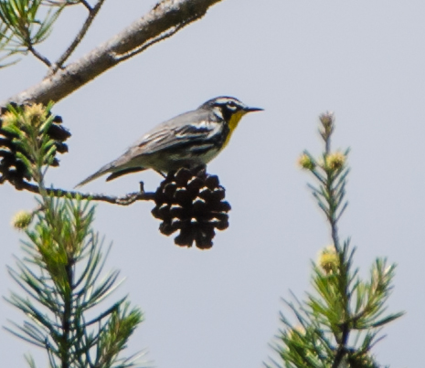 Yellow-Throated Warbler Shot in Georgia May 2015