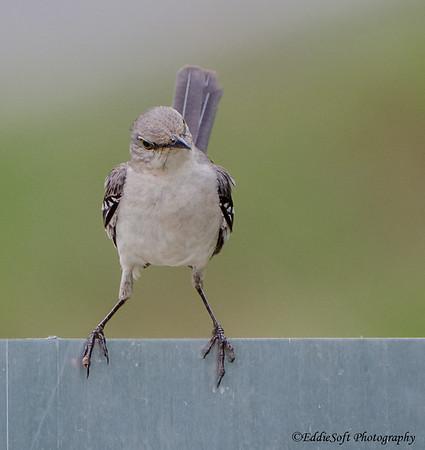 Northern Mockingbird found on Georgia Birding Trip May 2015