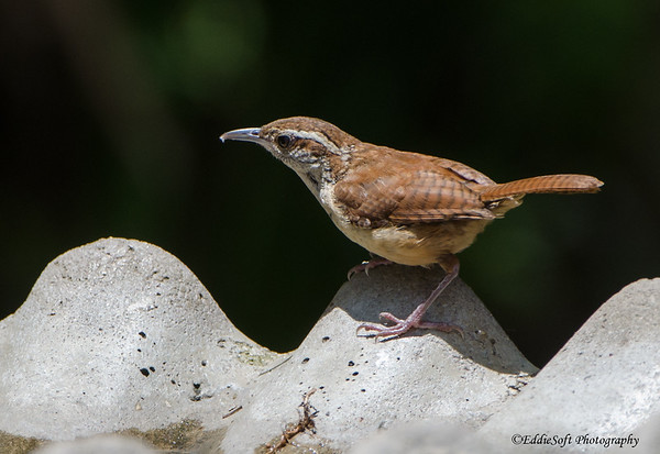 Carolina Wren found at Skidaway Island State Park, Georgia, May 2015