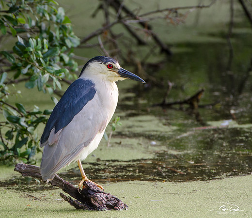 Black-Crowned Night-Heron found at Harris Neck NWR outside Savannah Georgia May 2015