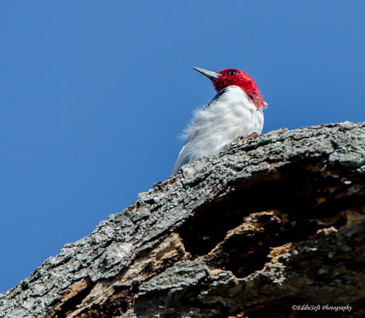 Red-Headed Woodpecker shot at Kentucky Lake April 2015