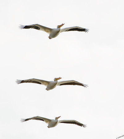 American White Pelican shot near Kentucky Lake in April 2015