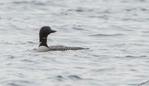 Common Loon shot around Kentucky Lake - April 2015