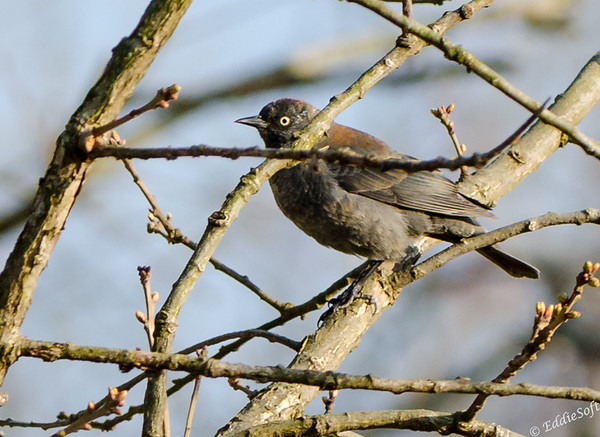 Rusty Blackbird found at Kentucky Lake in April 2015
