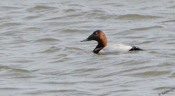 Canvasback shot around Kentucky Dam April 2015