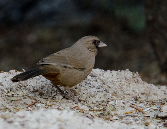 Abet's Towhee found at Wetlands Park Preserve in Henderson, Nevada November, 2018