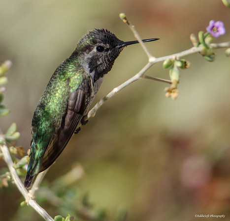 Anna's Hummingbird found at Red Rock Canyon National Conservation Area, Las Vegas, NV, November 2018