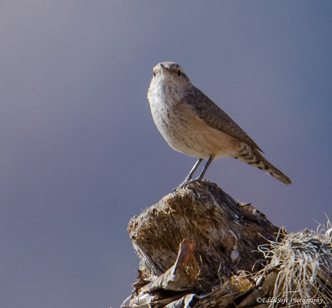 Rock Wren located at Red Rock Canyon National Conservation Area, Las Vegas NV,k November 2018
