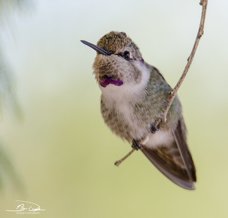 Juvenile Costa's Hummingbird found at Henderson Bird Viewing Center in Henderson, NV, November 2018