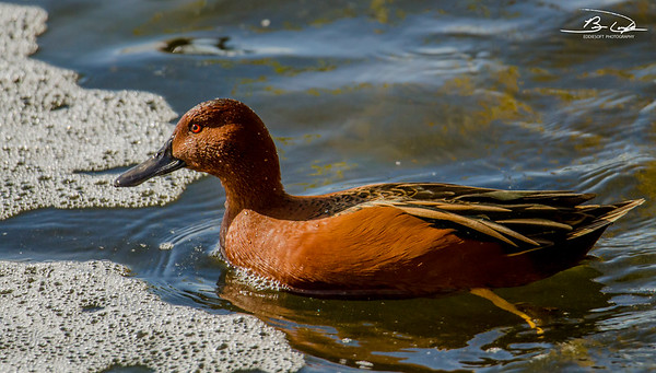 Cinnamon Teal found at Henderson Bird Viewing Preserve, Henderson, NV November 2018